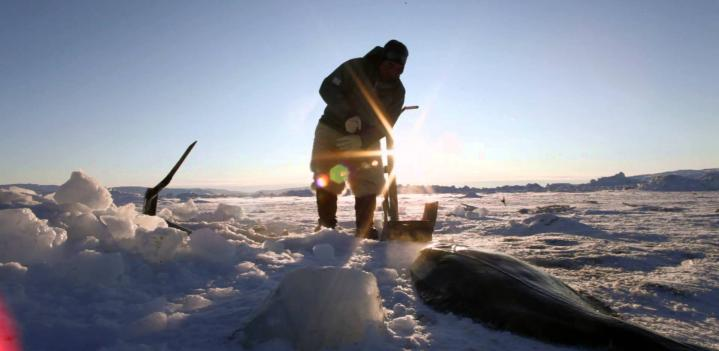 Inuit Seal Struggle explained by Mark Oaten