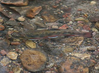 Fake Fur Microfibres poison brook trout - Mark Oaten IFF