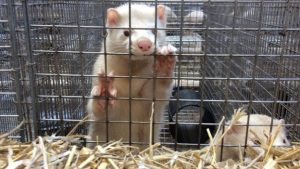 Two animals are kept in each cage which is around 90cm long and 30cm wide, International Fur Federation