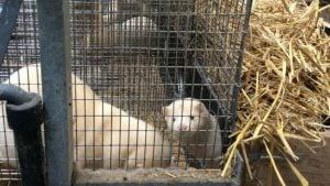 A mink emerges from its nest box, International Fur Federation