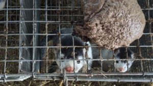 Straw, shelves and plastic tubes on Mink Farms, International Fur Federation