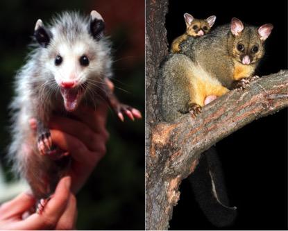 Possum Opossum fur